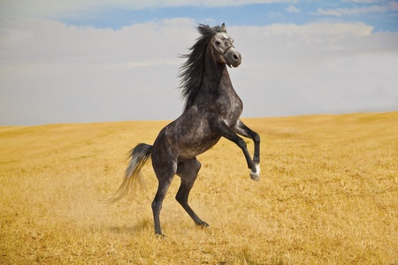 Pure arabian stallion standing wild on a golden field