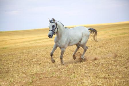 Arabian horse gallops in a golden field
