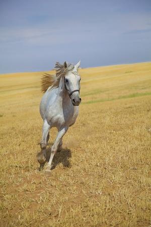 Arabian horse galloping towards camera in a golden field