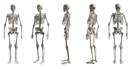 3D render of Human skeleton from all angles, isolated on white background