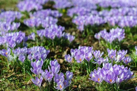 herald: Crocus vernus (Spring Crocus, Giant Crocus) spring flower growing on green grass, the crocus is a herald of spring