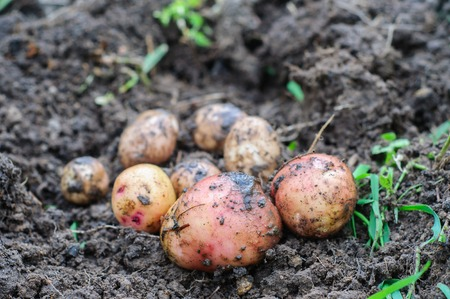 washed: Harvesting of young fresh not washed potatoes Stock Photo