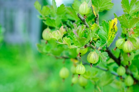 gooseberry bush: Ripe fresh gooseberry on branch with green natural background Stock Photo