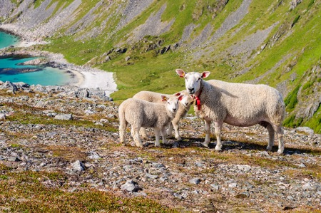 Sheep family with lambs in mountains near sea. Norway, Europe
