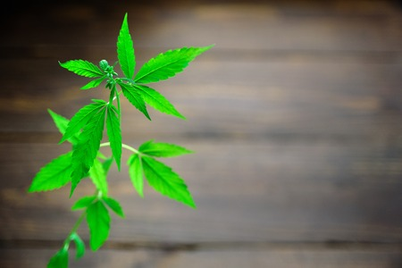 Young agricultural hemp plant on dark wooden background