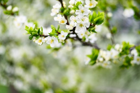 White flowers on apple tree branches. Soft focus