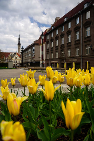 View to Harju street in Tallinn Old Town, Estonia. Tulips on foreground. Spring time