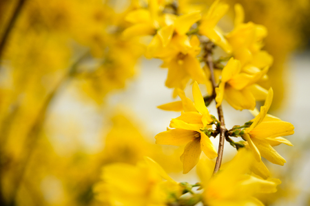 Yellow flowers of Forsythia with copy space