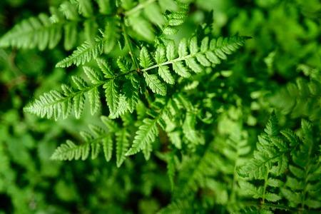 Hojas de helecho en crecimiento verde en la naturaleza. Luz del sol