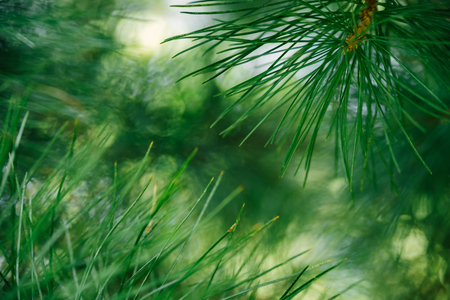 Pine branch on tree on sunny day in forest. Selective focus, bokeh Reklamní fotografie