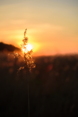 Dry grass at golden sunset light. Beautiful background for motivation quotes. Selective focuse Reklamní fotografie