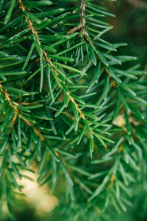 Spruce branch on tree on sunny day in forest. Christmas background, selective focus.