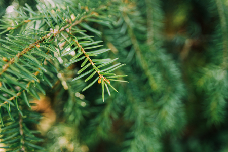 Spruce branch on tree on sunny day in forest. Christmas background, selective focus. Copy space