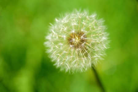 Macro dandelion with seeds on green background