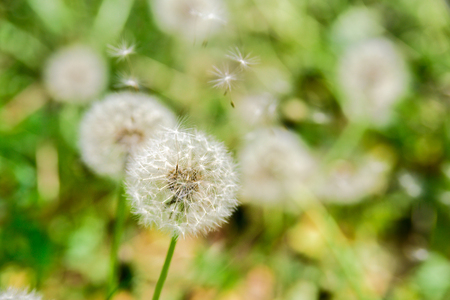 Dandelion with flying seeds on green field