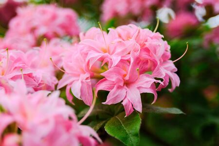 Pink Rhododendron flowers growing on bush close up. Babite, Latvia