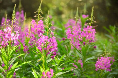 Field of fireweed or willowherb in bloom. Summer sunny day