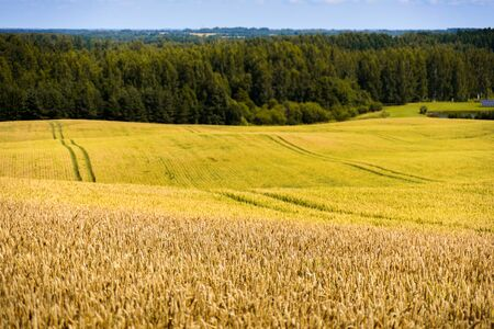 View to golden wheat field in Estonian country Stock Photo