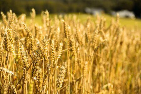Wheat ears at golden field. Sunny dummer day. Harvesting