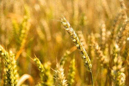 Ripe wheat ears on golden field. Sunny summer day. Harvesting, agriculture Stock Photo