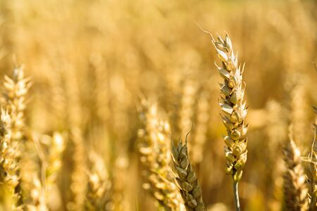 Ripe wheat ears on golden field. Sunny summer day. Harvesting, agriculture Banco de Imagens