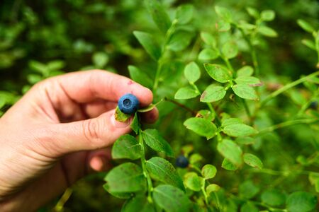 Woman hand picking wild blueberries from bush in Estonian forest. Summer harvesting season. Pure northern nature