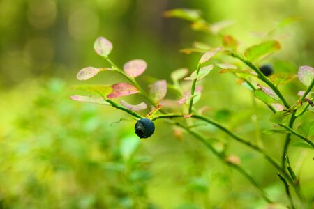 Growing blueberry on a bush in an Estonian forest. Summer harvesting season. Pure northern nature Banco de Imagens
