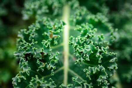 Growing kale cabbage close up. Fresh, vibrant and green with soft focus