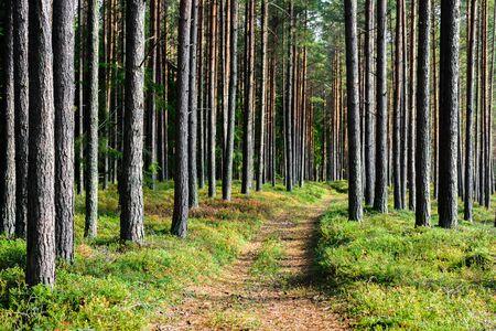 Amplias rutas de senderismo en el bosque de pinos, Estonia. Día soleado de otoño