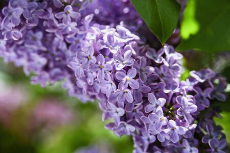 Lilac flowers close up background at sunny day. Selective focus