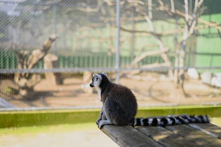 Sad ring tailed lemur in zoo sitting and watching to aviary or cage 免版税图像