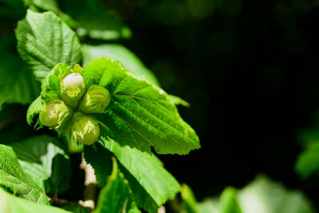 Unripe growing hazelnut on tree at sunny day forest 免版税图像