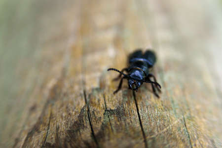 Pterostichus black beetle on wood. Subfamily Harpalinae