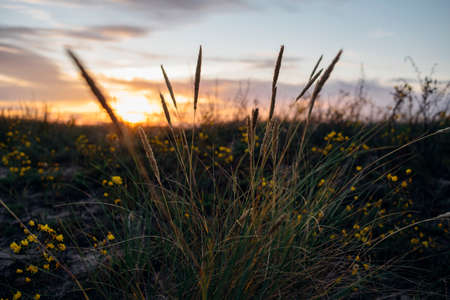 Dry grass at sunset. Sky with couds, soft focus