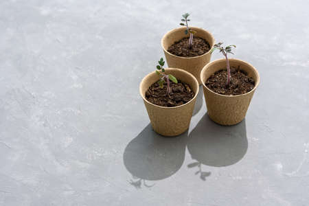 Biodegradable paper seed or plant pots with tomato sprouts close up on concrete grey background