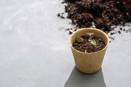 Biodegradable paper seed or plant pots with tomato sprouts close up