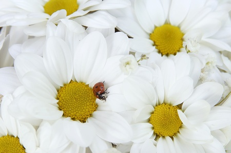 Ladybird on camomiles photo