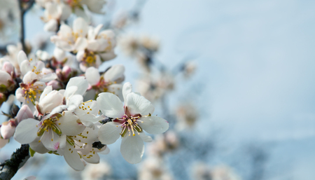 yellow flower tree: Almond blossom in spring in the orchard
