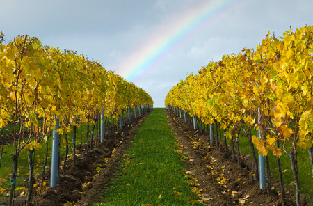 Picture of vineyard in autumn and rainbow