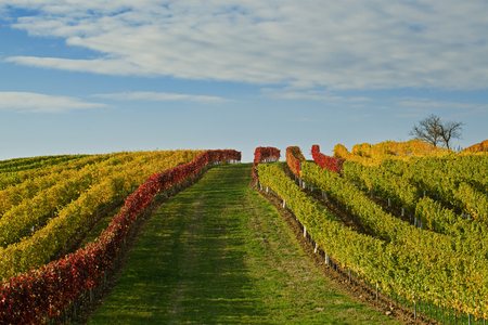 Picture of vineyard and blue sky with clouds