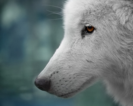 Portrait of a white Arctic wolf head Stock Photo
