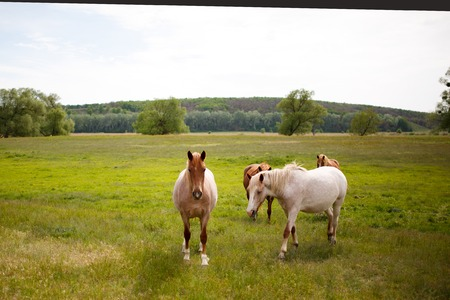 Family horses on a green meadow.