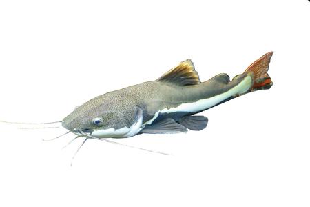 Redtail catfish (Phractocephalus hemioliopterus) isolated Standard-Bild