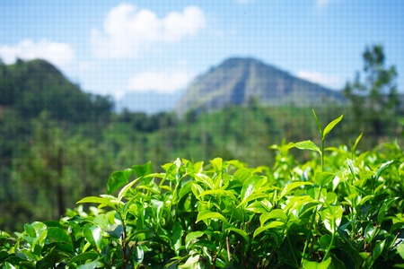 Tea gardens in Sri Lanka. Leaves with mountain on background.