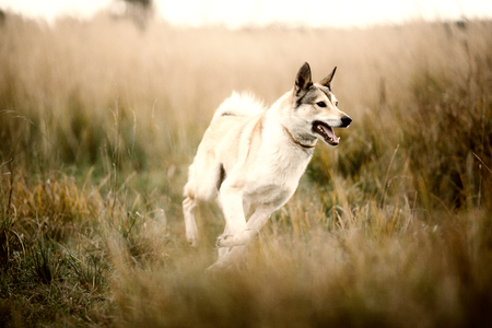 Running Nice West Siberian laika (husky) outdoor