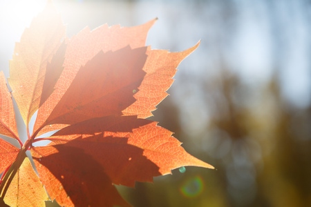 Autumn colors in october. Red leaves with blur background. Copyspace. Stock fotó