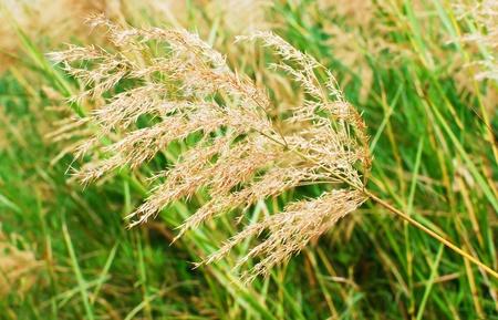 closeup of jasmine rice background photo