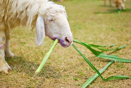 fench: white sheep eating grass in farm closeup
