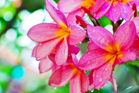 Plumeria flor en el fondo de la vista de detalle jardín Foto de archivo
