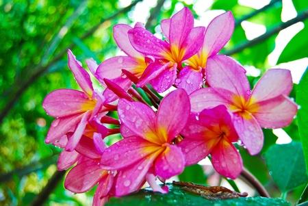 Plumeria flower in garden closeup view background photo